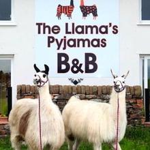 Llamas Pyjamas in Lazonby