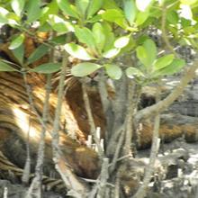 Mangrove Wild Resort in Chapari