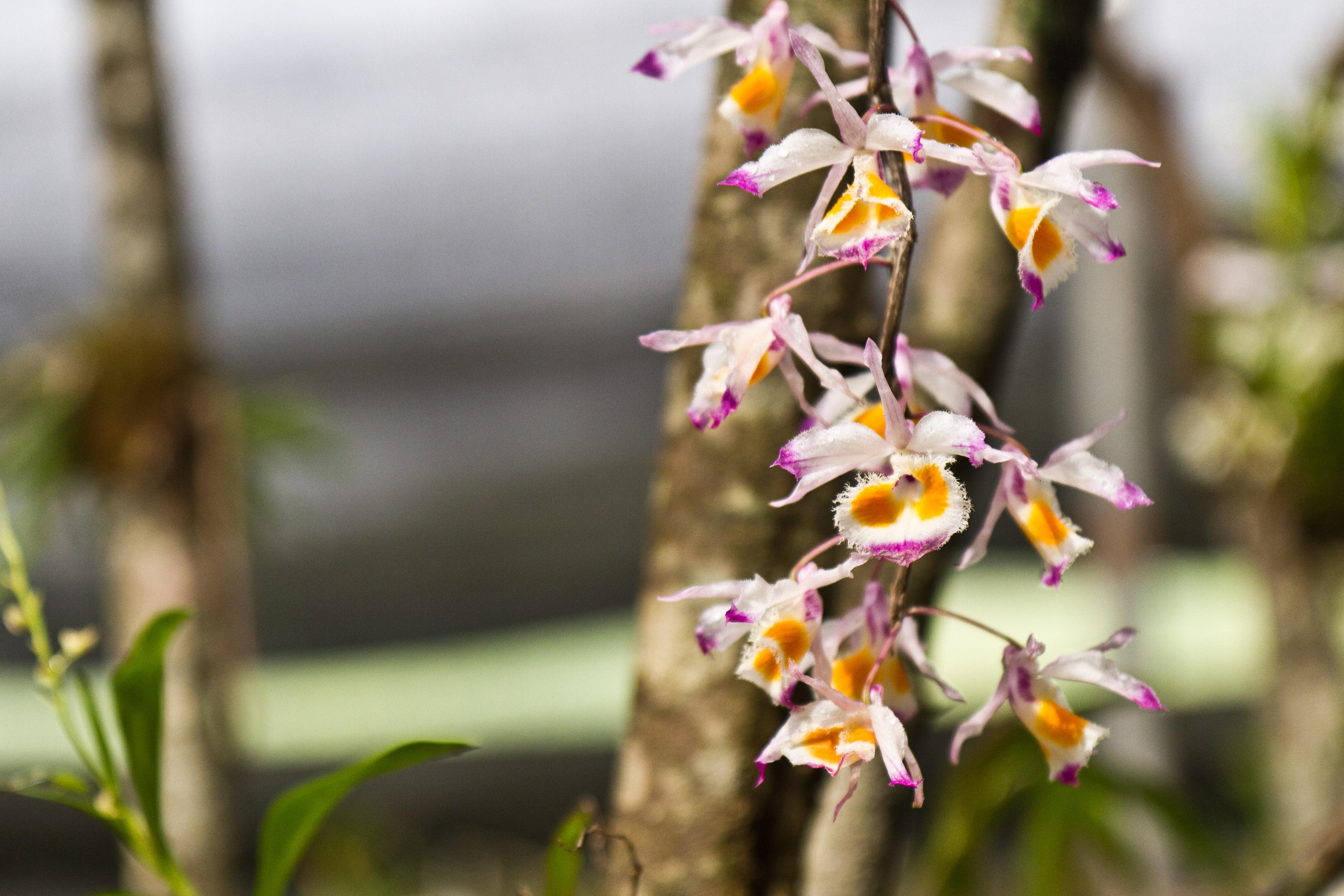 Khonghampat Orchidarium