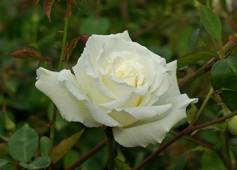 Nehru Rose Garden