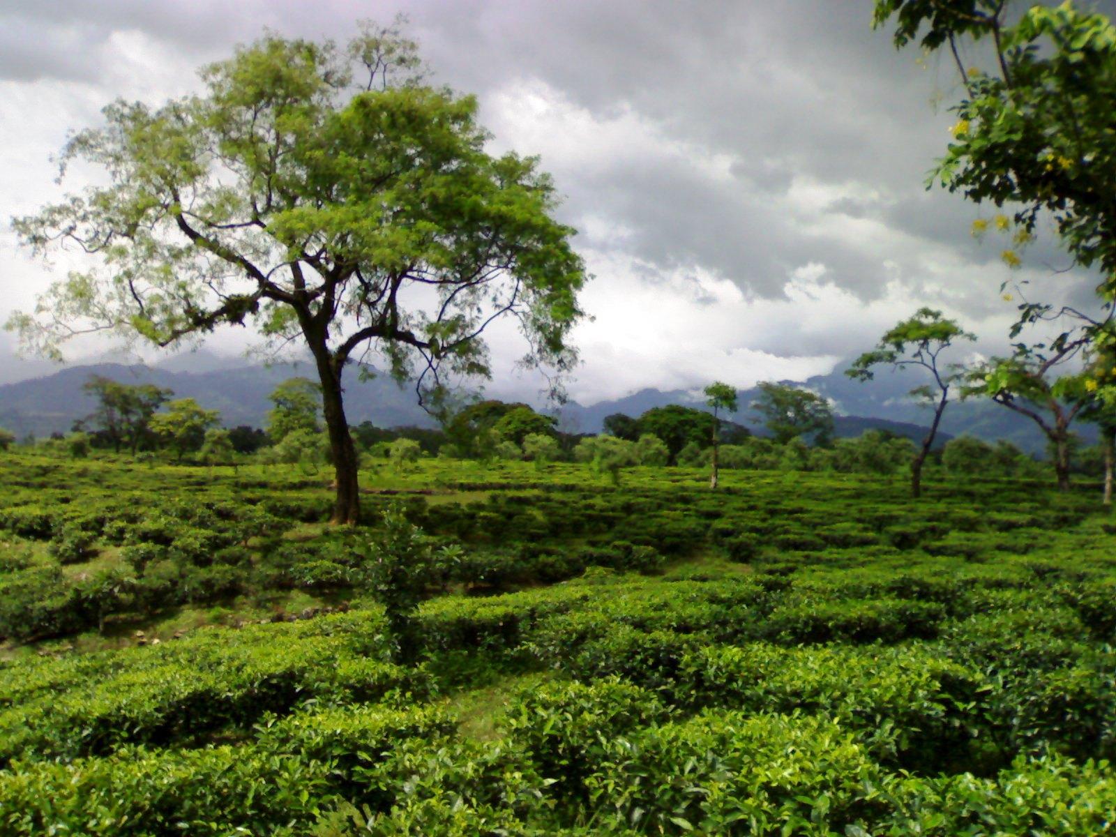 Oodlabari Tea Estate