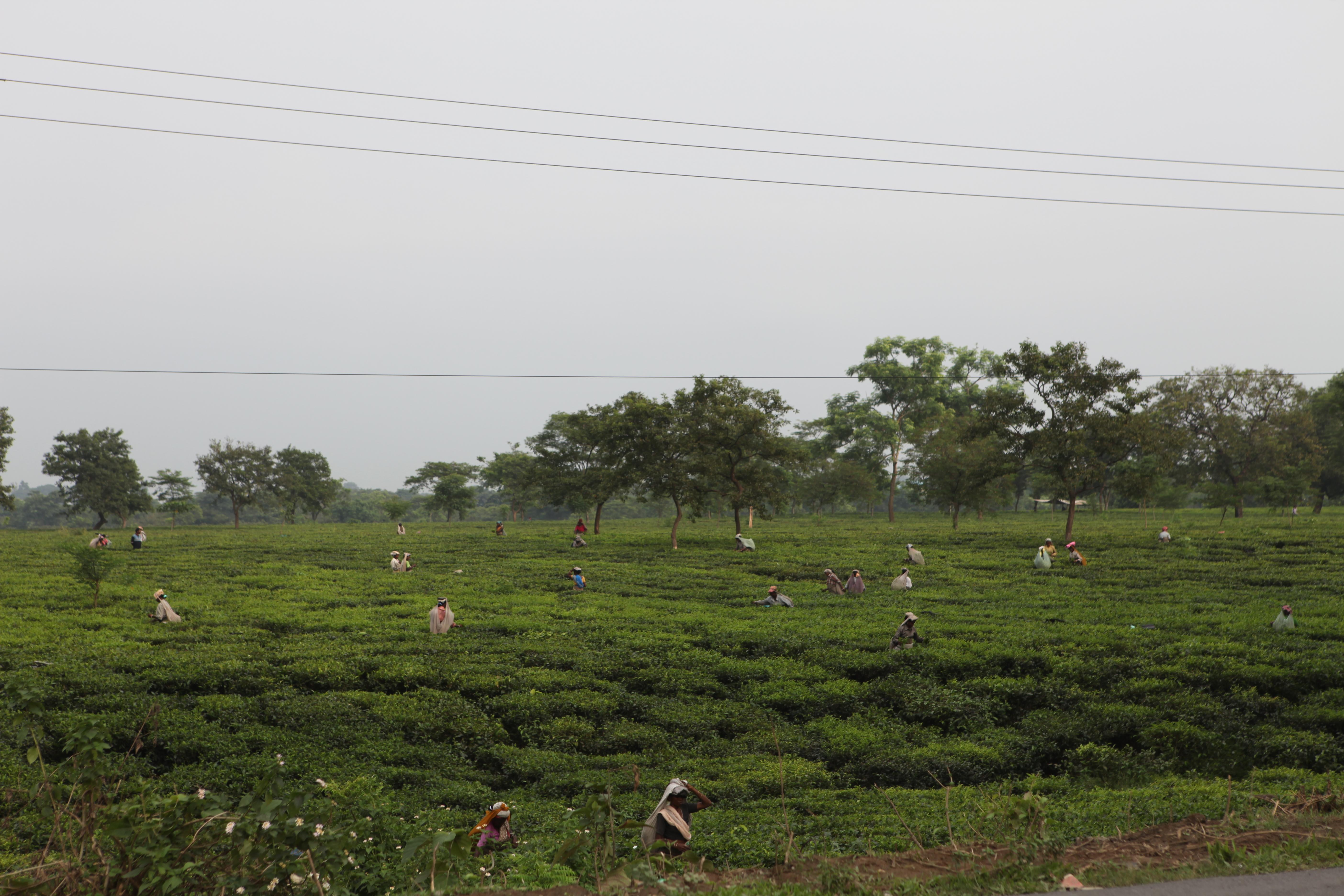 Tea Garden Visit, Bagdogra