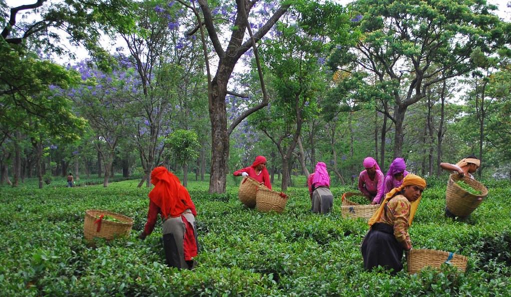 Tea Gardens and Factory